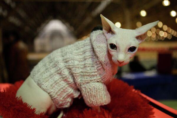 Канадский сфинкс на выставке кошек. Архивное фото - Sputnik Таджикистан