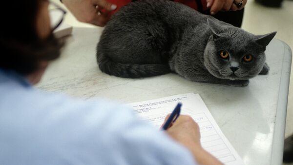 Кошка породы голубая британская короткошерстная. Архивное фото - Sputnik Тоҷикистон
