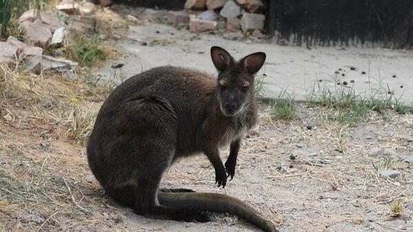 Кусочек Австралии в Душанбе: кенгуру обживают таджикский зоопарк - Sputnik Таджикистан