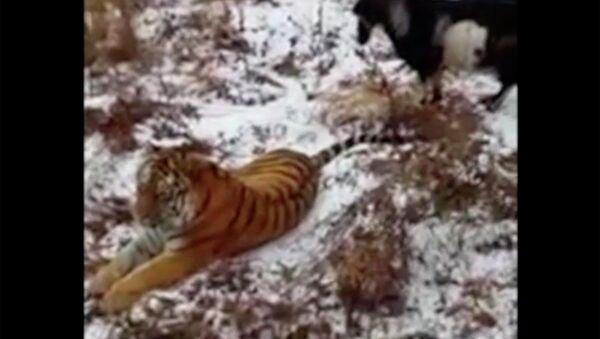 Как козел тигра выжил - Sputnik Таджикистан