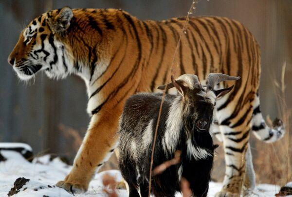 В Приморском Сафари-парке амурский тигр подружился с козлом - Sputnik Таджикистан