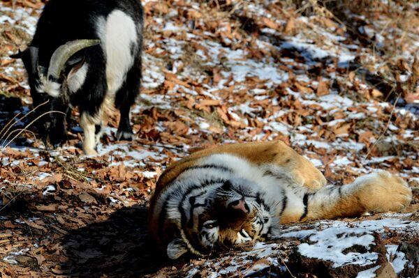 Дружба козла Тимура и тигра Амура - Sputnik Таджикистан