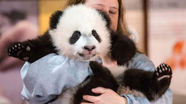 В Национальном зоопарке Вашингтона журналистов познакомили с четырехмесячной пандой Бей Бей, архивное фото - Sputnik Таджикистан