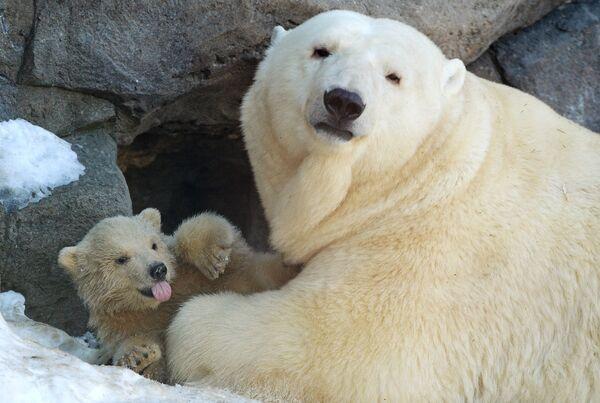 Белая медведица. Архивное фото. - Sputnik Таджикистан
