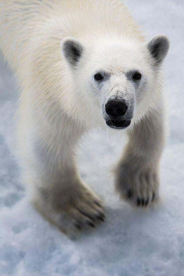 Белая медведица в районе архипелага Земля Франца Иосифа. Архивное фото. - Sputnik Таджикистан