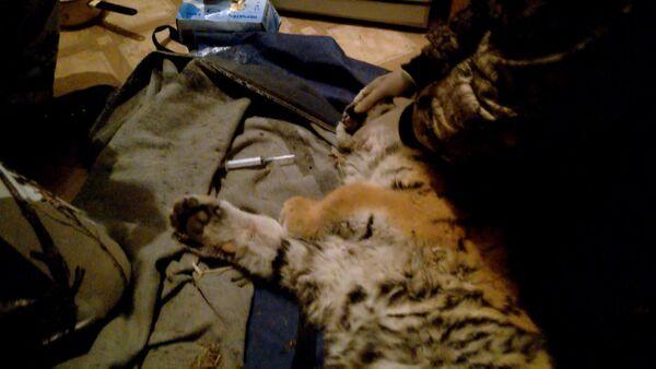 Ветеринары оказали первую помощь вышедшему к людям тигренку в Приморье - Sputnik Таджикистан