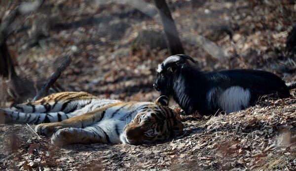 Уссурийский тигр Амур и козел Тимур в вольере Приморского сафари-парка. Архивное фото - Sputnik Таджикистан