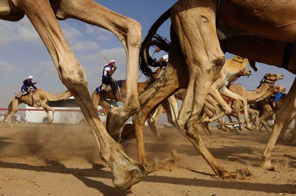 Гонка на верблюдах на призы фестиваля шейха Султана бин Заеда аль Нахьяна в Абу-Даби - Sputnik Таджикистан