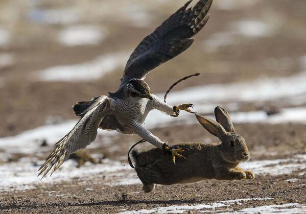 Прирученный ястреб атакует кролика во время охотничьего фестиваля в селе Нура к востоку от Алматы (Казахстан) - Sputnik Таджикистан