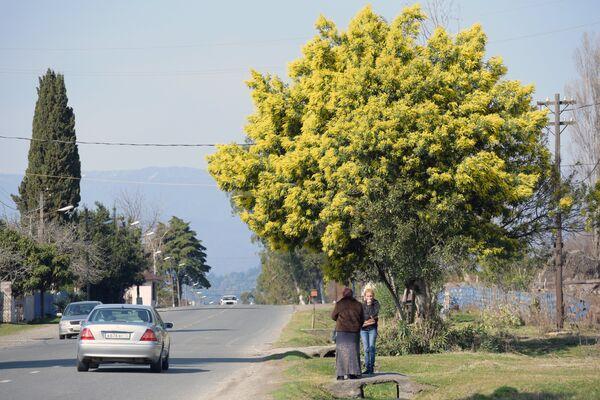 Цветение мимозы в Абхазии. Архивное фото - Sputnik Таджикистан