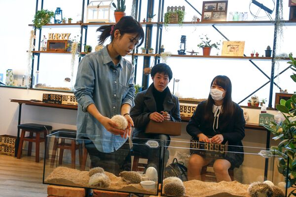 В Токио открылось  кафе с ежиками - Sputnik Таджикистан