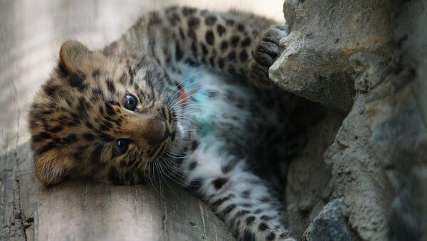 Детеныш леопарда. Архивное фото - Sputnik Таджикистан