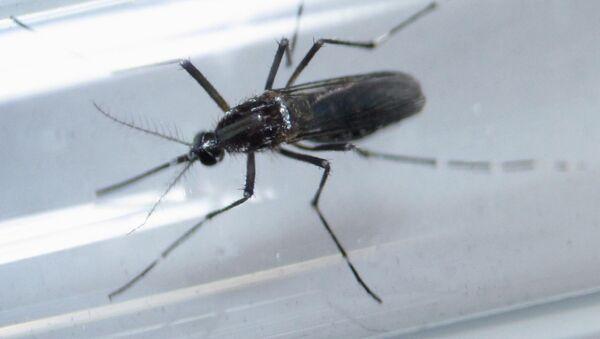 Москит, исследуемый в лаборатории в рамках борьбы с вирусом Зика. Архивное фото - Sputnik Таджикистан