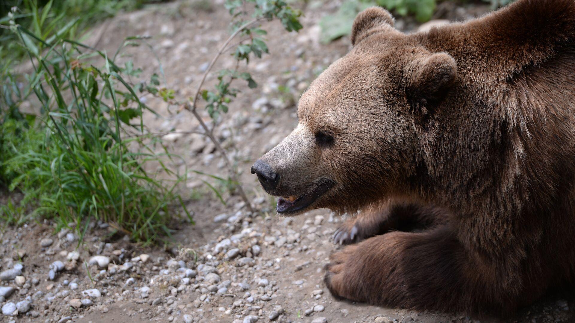 Медведь напал на жителей ГБАО