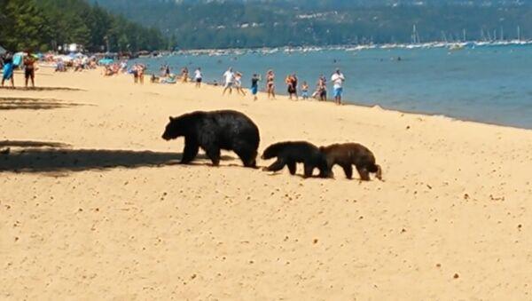 Медведица с детенышами гуляла по пляжу в Калифорнии и купалась среди людей - Sputnik Таджикистан