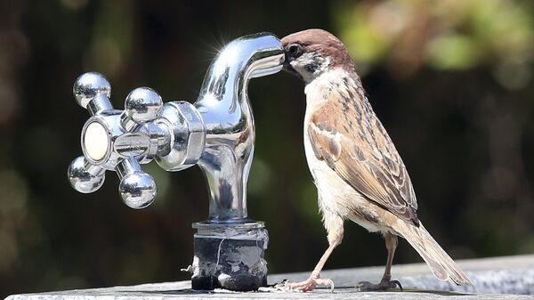 Воробей пытается выпить воды из крана  - Sputnik Таджикистан