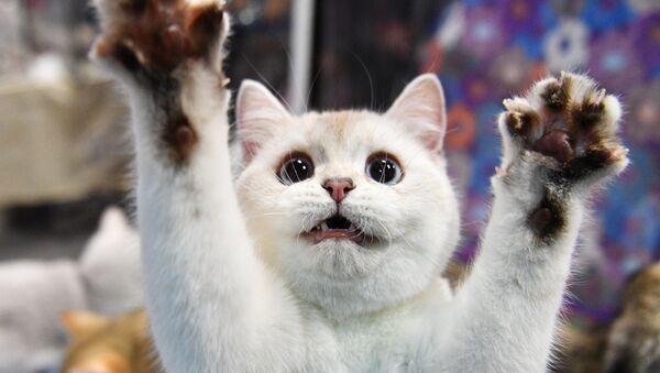Выставка котят КоШарики Шоу в Москве - Sputnik Таджикистан