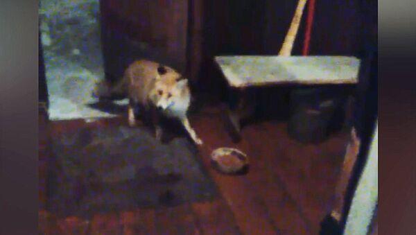 Дикая лиса не боится людей и заходит в дом посмотреть ТВ — кадры из Казармана - Sputnik Таджикистан