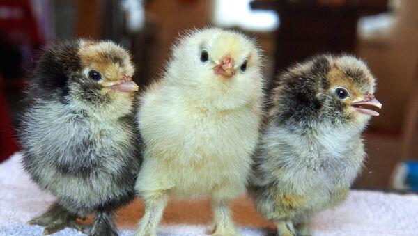 Цыплята, архивное фото - Sputnik Таджикистан