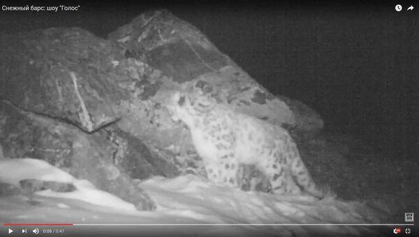 Крик снежного барса впервые записали на камеру - Sputnik Таджикистан