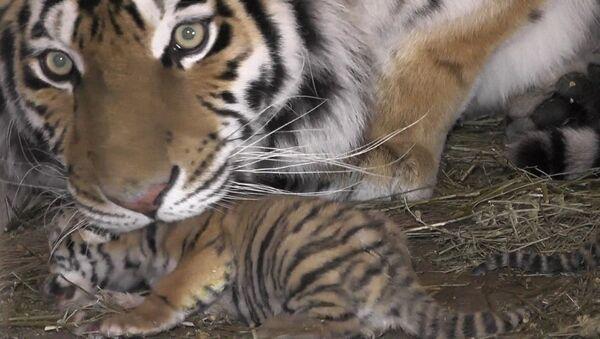 Тигрята в крымском сафари-зоопарке - Sputnik Таджикистан