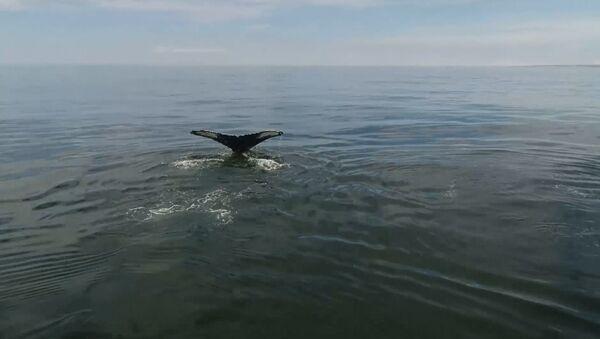 У берегов Камчатки обнаружили 12 горбатых китов. Кадры с дрона - Sputnik Таджикистан