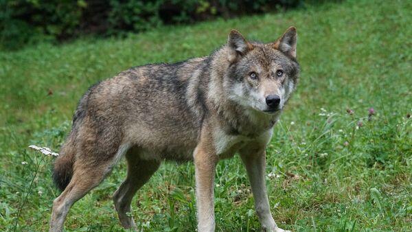 Волк, архивное фото - Sputnik Тоҷикистон