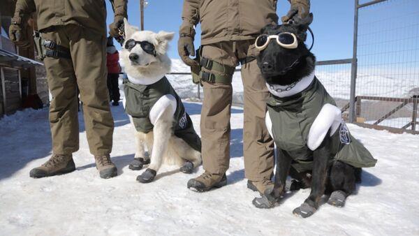 Собаки в экипировке для работы на горнолыжных склонах в Чили - Sputnik Таджикистан