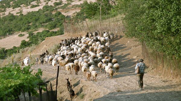 Пастух со стадом на пастбище, архивное фото - Sputnik Тоҷикистон
