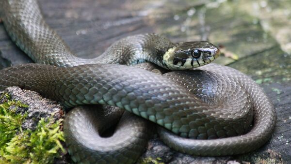 Змея, архивное фото - Sputnik Тоҷикистон