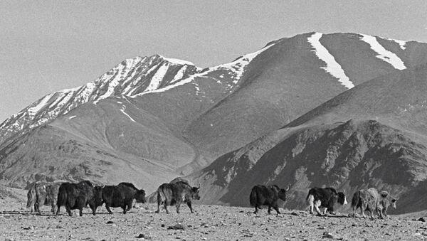 Яки в горах Памира, архивное фото - Sputnik Тоҷикистон