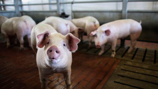 Свинья в стойле, архивное фото - Sputnik Тоҷикистон