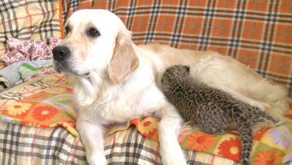 Собака выкармливает детеныша леопарда - Sputnik Таджикистан