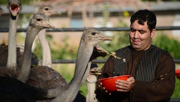 Фермер кормит страусов на окраине Герата, архивное фото - Sputnik Таджикистан