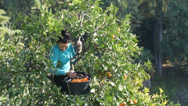 Золото Абхазии: как проходит сбор мандаринов в Гулрыпше - Sputnik Таджикистан