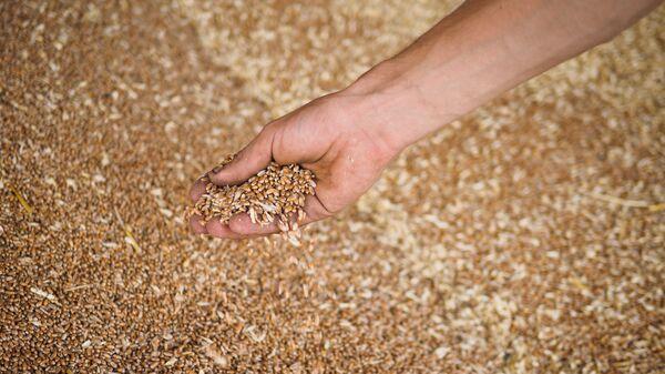 Пшеница, собранная на полях, архивное фото - Sputnik Тоҷикистон