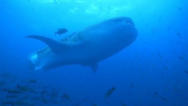 Китовая акула - Sputnik Таджикистан