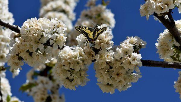 Бабочка на цветущем дереве, архивное фото - Sputnik Тоҷикистон