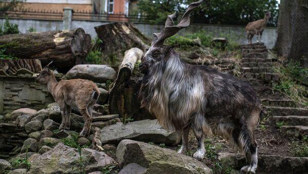 Винторогий козел в Калининградском зоопарке, архивное фото - Sputnik Тоҷикистон