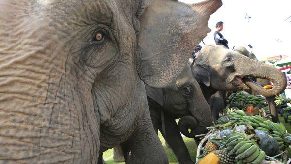 Слоны едят фрукты перед началом слоновьего поло - Sputnik Таджикистан