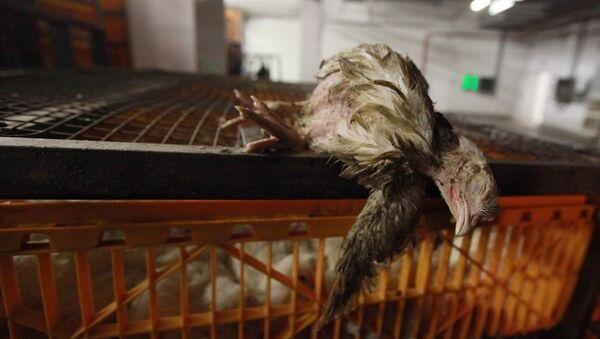 Мертвая курица, архивное фото - Sputnik Таджикистан