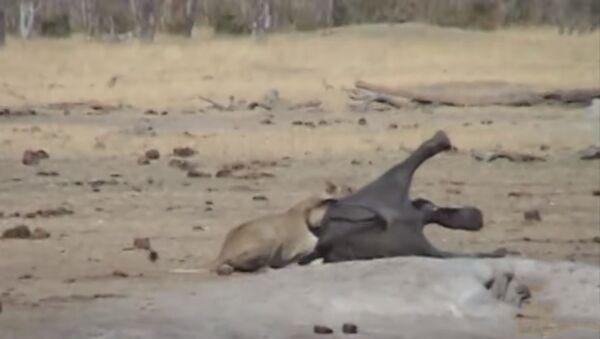 Схватка слона со львами попала на видео - Sputnik Таджикистан