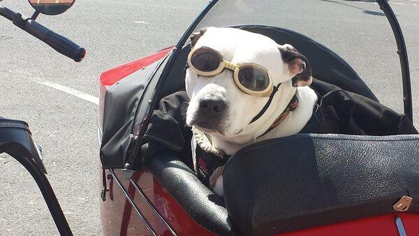 Собака в мотоциклетной коляске в очках, архивное фото - Sputnik Таджикистан