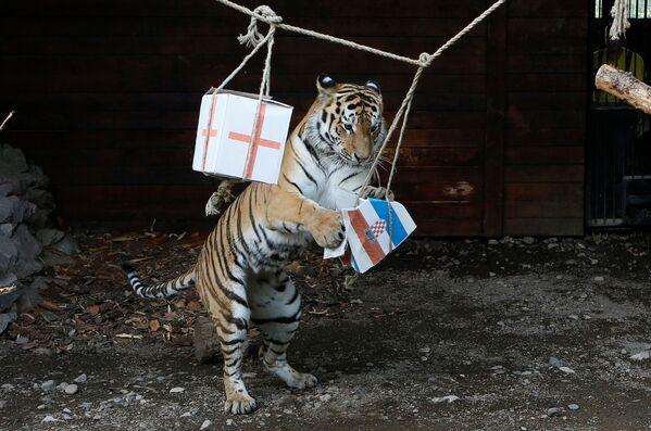 Амурский тигр Бартек во время предсказания результата матча между сборными Хорватии и Англии - Sputnik Таджикистан