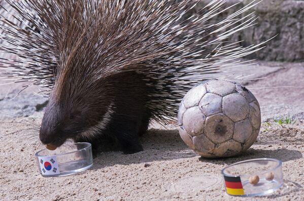 Дикобраз Dinah во время предсказания результата матча между сборными Южной Кореи и Германии - Sputnik Таджикистан