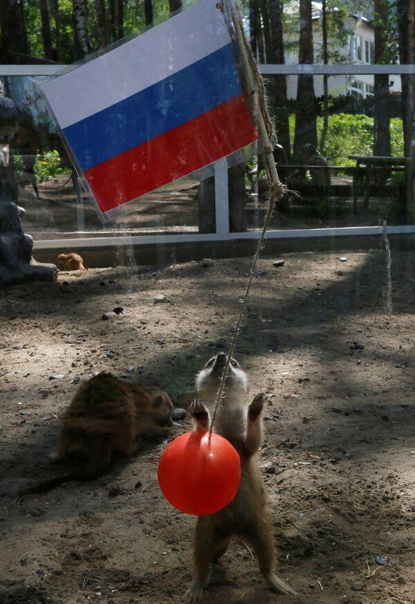 Сурикат, предсказывающий результат матча Россия-Саудовская Аравия в зоопарке Красноярска - Sputnik Таджикистан