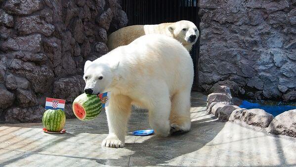 Белая медведица Аврора предсказала результат матча Россия – Хорватия - Sputnik Таджикистан