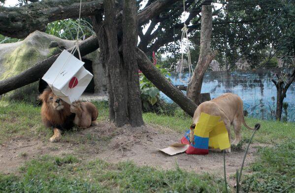 Лев Нене и львица Валентина в колумбийском зоопарке во время угадывания ими результата матча Колумбия - Япония на ЧМ-2018 - Sputnik Таджикистан