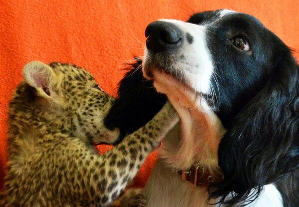 Кокер-спаниель воспитывает котенка леопарда во Владивостоке - Sputnik Таджикистан