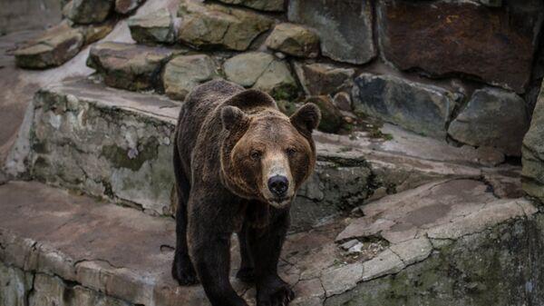 Бурый медведь, архивное фото - Sputnik Таджикистан